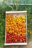 Closeup on full crate of various organic species of tomatoes Royalty Free Stock Image