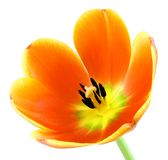 Fully blossomed tulip on white Royalty Free Stock Images
