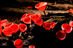 Closeup Fungi cup red mushroom or wineglass mushroom Royalty Free Stock Images