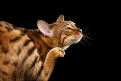 Closeup Funny Bengal Cat scratching his face,  Black Background Royalty Free Stock Images