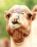 Closeup Funny Camel Face. Closeup photo of camel with crooked teeth Royalty Free Stock Image