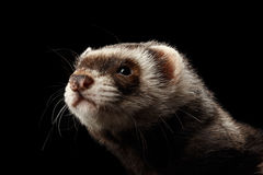 Closeup Funny Ferret looking in camera on Black Background stock photography