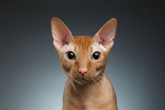 Closeup Funny Ginger Sphynx Cat Curiously Looking in camera on background Stock Images