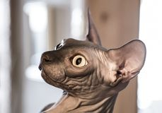 Closeup Funny Ginger Sphynx Cat Curiously Looking in camera on blue background stock photos