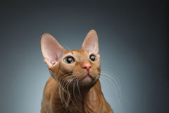 Closeup Funny Ginger Sphynx Cat Curiously Looking up on dark Royalty Free Stock Photo