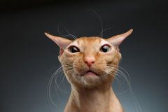 Closeup Funny Ginger Sphynx Cat Surprised Looking in camera on background Stock Photos
