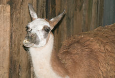 Closeup of funny llama Royalty Free Stock Photos