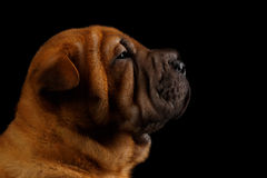 Closeup Funny Sharpei Puppy in Profile Isolated on Black Stock Image