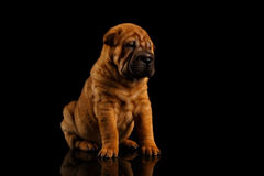 Closeup Funny Sharpei Puppy Sits on Black Mirror Royalty Free Stock Images