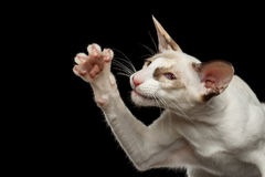 Closeup Funny White Oriental Cat Raising paw, Black Isolated Stock Photo