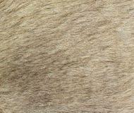 Closeup of the fur of a Kangaroo Royalty Free Stock Images