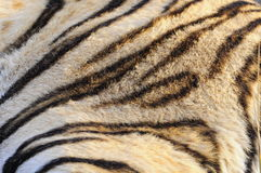 Closeup fur pattern of the Bengal Tiger stock photo