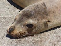 Closeup of a fur seal the galapagos islands ecuador royalty free stock photography