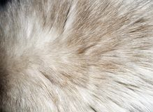 Closeup of a fur texture from cat`s back.  Royalty Free Stock Photo