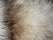 Closeup of a fur texture from cat`s nape.  Stock Image