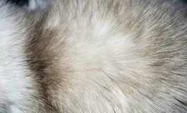 Closeup of a fur texture from cat`s torso.  Stock Photo