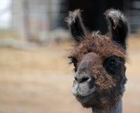 Closeup of a Furry Alpaca Royalty Free Stock Photo
