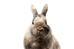 Closeup Furry Little rabbit, Brown Fur, isolated on white Background Royalty Free Stock Photos