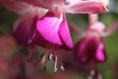 Closeup fuschia Royalty Free Stock Image