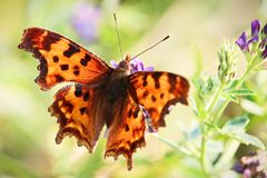 Closeup of the fuzzy hairs on a Green Comma butterfly.  Stock Images
