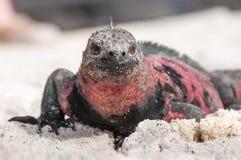 Closeup of Galapagos marine iguana Stock Photos