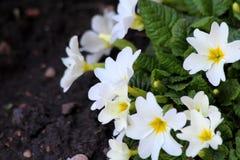 Closeup of garden flower.  Royalty Free Stock Photo