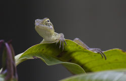 Closeup of a Garden Lizard Royalty Free Stock Photos
