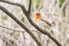 Robin on a branch Royalty Free Stock Photo