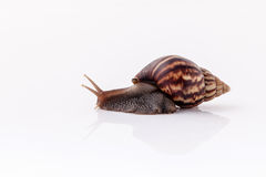 Closeup of garden snail isolate on white background . Royalty Free Stock Image
