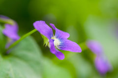 Closeup garden violet flowers Royalty Free Stock Image