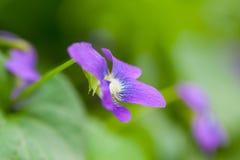 Closeup garden violet flowers Royalty Free Stock Image