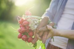 Young gardener holding fresh harvest radish. Closeup of gardener hands holding fresh grown harvest radish with green leaves and ground Royalty Free Stock Photography