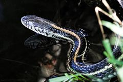 Closeup of a garter snake head with its` reflection in water Royalty Free Stock Photos