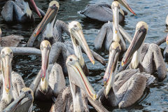 Closeup of a Gathering of Brown Pelicans Royalty Free Stock Image
