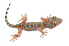 Closeup gecko. On white background royalty free stock photography