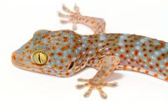 Closeup gecko Royalty Free Stock Image