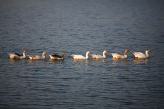 Closeup of geese swimming in a lake Stock Images