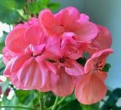 Closeup of Geranium Flowers Royalty Free Stock Photos