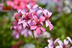 Closeup geranium flowers Stock Photo