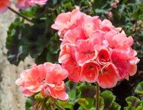 Closeup of geranium in a garden Stock Image