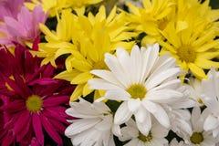 Closeup Gerber daisies. Brightly colored springtime Gerber daisies royalty free stock photo