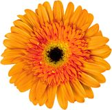 Closeup of Gerber Daisy flower. Flower daisy gerber color white background colorful royalty free stock image