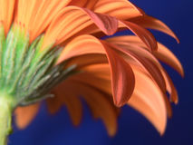 Closeup of gerber daisy petals Stock Images