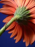 Closeup of gerber daisy stem Stock Image