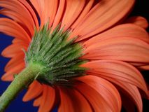 Closeup of gerber daisy stem Stock Photos
