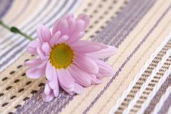 Closeup of gerbera Royalty Free Stock Photo