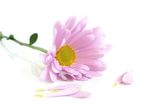 Closeup of gerbera Stock Photos