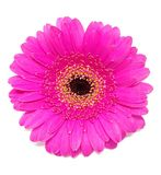 Gerbera flower in pink over white background. Closeup of gerbera blossom. royalty free stock images