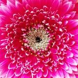 Closeup of gerbera flower blossom. Pink gerbera flower. stock photography