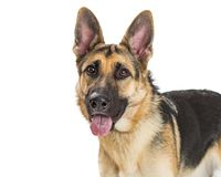 Closeup German Shepherd Dog Happy Expression royalty free stock photos